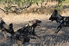 Wild_Dogs_South_Africa_2008_0008
