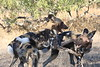 Wild_Dogs_South_Africa_2008_0011