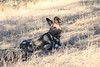 Wild_Dogs_South_Africa_2008_0043