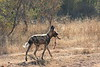 Wild_Dogs_South_Africa_2008_0002