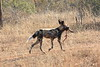 Wild_Dogs_South_Africa_2008_0039