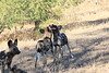 Wild_Dogs_South_Africa_2008_0042