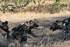 Wild_Dogs_South_Africa_2008_0009