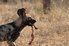 Wild_Dogs_South_Africa_2008_0001