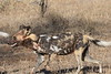 Wild_Dogs_South_Africa_2008_0012