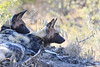 Wild_Dogs_South_Africa_2008_0006