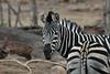 Zebra (32)