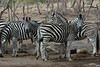 Zebra (36)