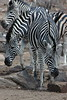 Zebra (21)