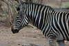 Zebra (14)