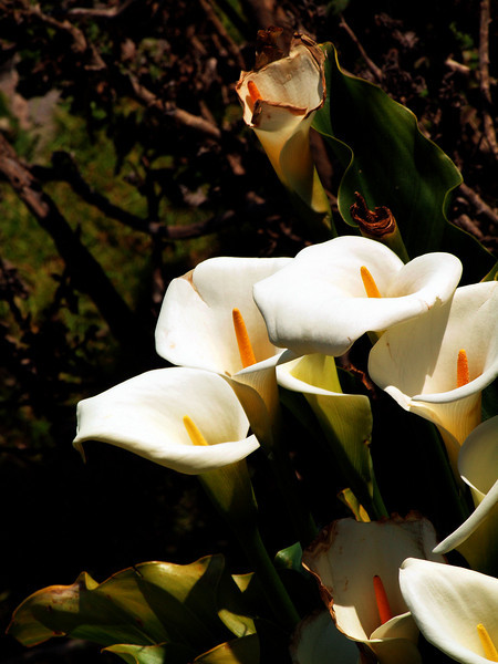 Table Mountain Lillies