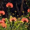 Pincusion Protea, Kirstenbosch Botanical Gardens