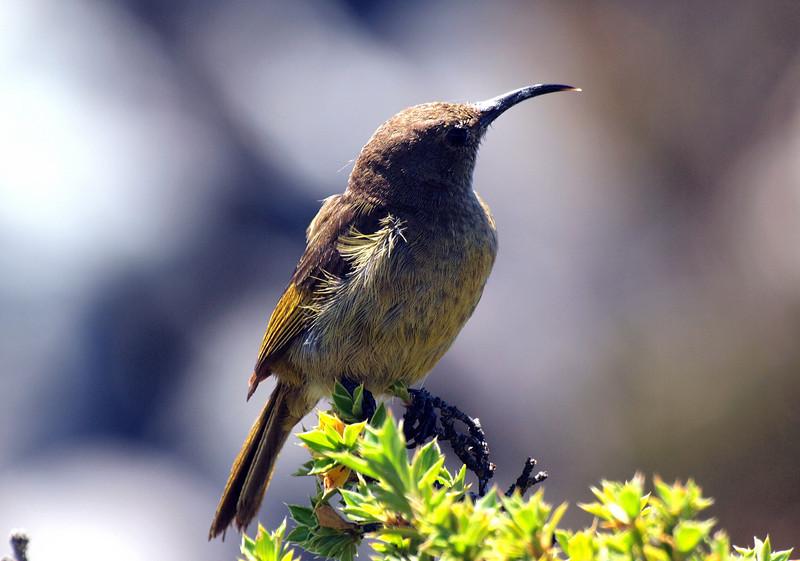 Lesser Double-Collared Sunbird, Table Mountain