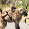 Baboons on road, Cape Point