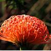 Protea, Kirstenbosch Botanical Gardens