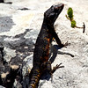 Southern Rock Lizard, Table Mountain
