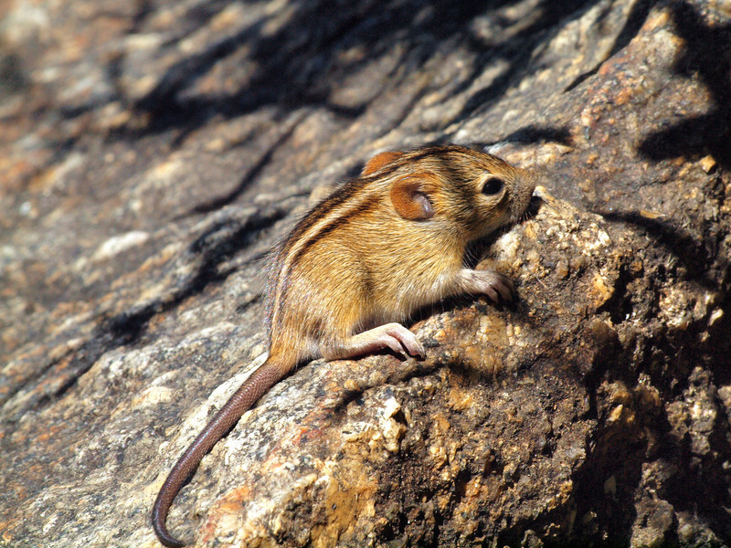 Striped Mouse, Afrikaans Monument