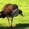 Egyptian Goose, Kirstenbosch Botanical Gardens