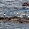 Lesser Crested Terns, Cape of Good Hope
