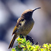 Lesser Double-Collared Sunbird, Table Mountain
