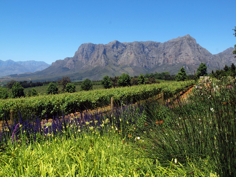 Vineyards at Delaire Graff Estate