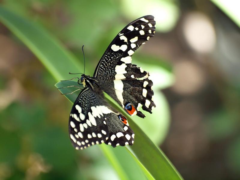 Butterfly at Stellenbosch Village Museum Garden
