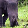 White Rhino, iSimangaliso Wetland Park