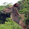Female Nyala, iSimangalso Wetland Park