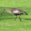 Hadeda Ibis, Montusi Mountain Lodge