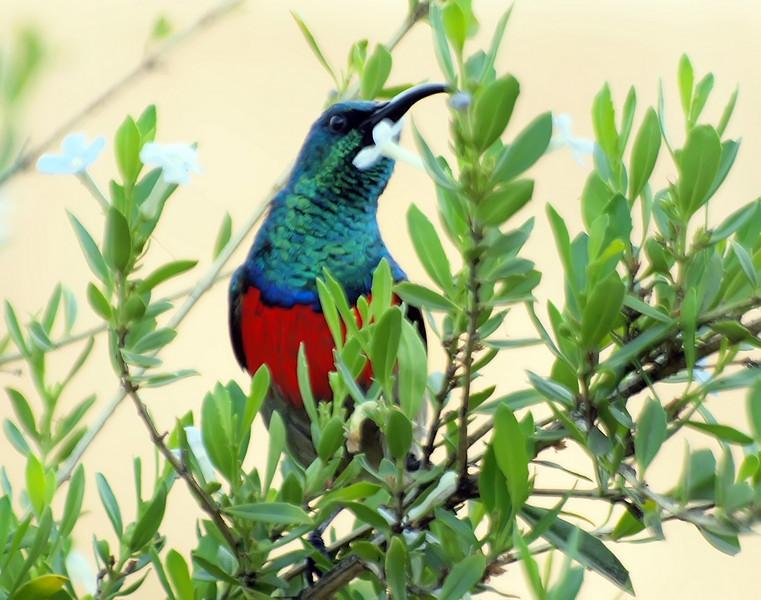 Greater Double Collared Sunbird, Montusi Mountain Lodge