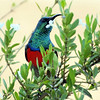 Greater Double Collared Sunbird, Montusi Mountain Lodge