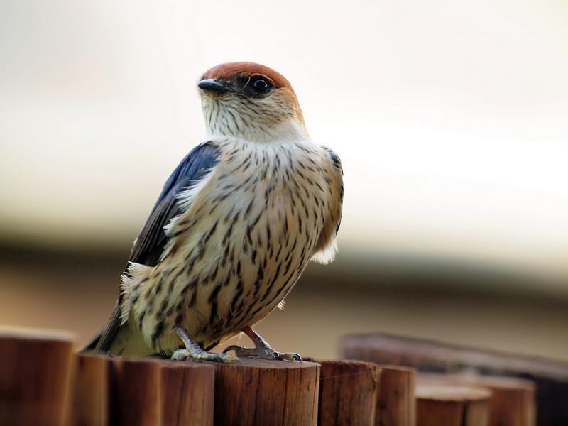 Lesser Striped Swallow, Montusi Mountail Lodge