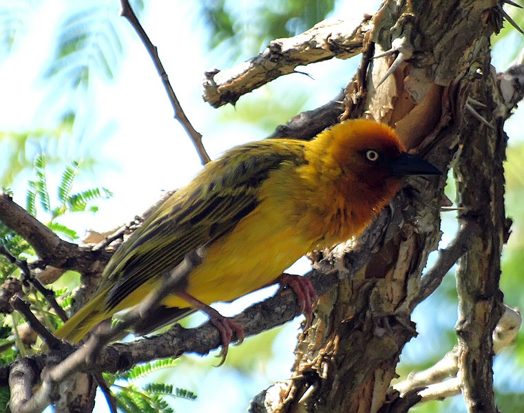 Cape Weaver, Montusi Mountain House