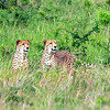 Male Cheetahs in the grass