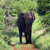 Elephant on the trail