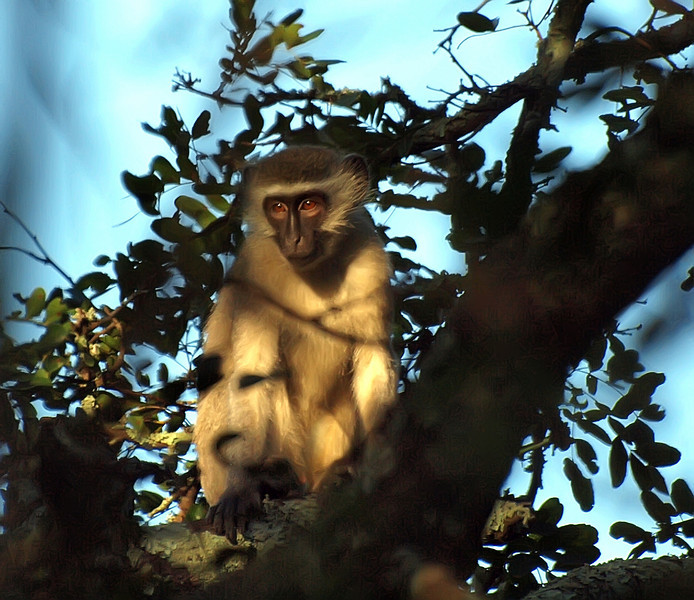 Vervet Monkey, Phinda Reserve