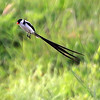 Pintail Whydah