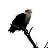 African Fish Eagle, St. Lucia Lake