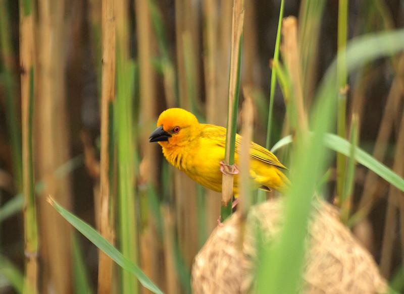 Golden Weaver,  St. Lucia Estuary