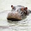 Hippo, St. Lucia Lake