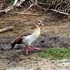 Egyptian Goose, St. Lucia Estuary