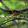 Southern Masked Weaver, St. Lucia