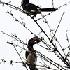 Hornbills at dawn, St Lucia