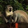 Vervet Monkies, St. Lucia