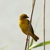 Lesser  Masked Weaver ?, St. Lucia