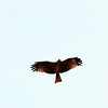 Black Kite ?, St. Lucia