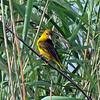 Lesser Masked Weaver ?, St Lucia