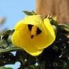 Wild Hibiscus, St. Lucia