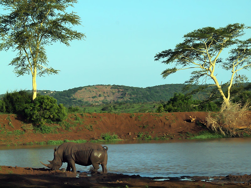 White Rhino at watering hole