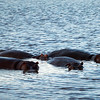 Hippos at Phinda dusk